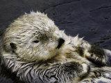 California Sea Otter (Enhydra Lutris), California, USA Fotografisk tryk af David Fleetham