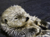 California Sea Otter (Enhydra Lutris), California, USA Photographic Print by David Fleetham