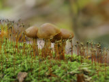 Poisonous Agaric Mushrooms (Cortinarius Gentilis) Growing Among Mosses on a Log Photographic Print by Robert Servrancky