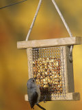 Tufted Titmouse (Parus Bicolor) Feeding at a Nut Feeder, North America Photographic Print by Steve Maslowski