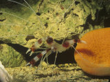 Banded Coral or Cleaner Shrimp, Tropical Oceans Photographic Print by Rob & Ann Simpson