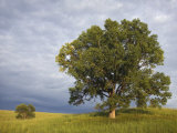 Two Cottonwood Trees in the Grassland of the Loess Hills, Iowa, USA Photographic Print by Clint Farlinger