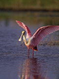 Roseate Spoonbill (Ajaia Ajaja) Florida, USA Photographie par Arthur Morris