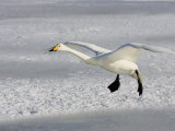 Whooper Swan in Flight, Olor Cygnus Photographic Print by John Cornell