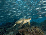 Green Sea Turtle (Chelonia Mydas) Swimming over a Coral Reef Among Schooling Fish, Malaysia Photographic Print by David Fleetham
