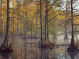 Bald Cypress Trees (Taxodium Distichum) in Spring Lake, Wall Doxey State Park, Mississippi, USA Photographic Print by Clint Farlinger