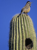 Cactus Wren on a Saguaro Cactus (Campylorhynchus Brunneicapillus), Arizona, USA Photographic Print by Tom Walker