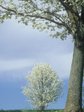 Bradford Pear Trees in Full Bloom, Kentucky, USA Photographic Print by Adam Jones