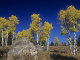 Quaking Aspens, Populus Tremuloides, in the Fall, Grand Teton National Park, Wyoming, USA Fotografiskt tryck av Gerald & Buff Corsi