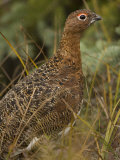 Willow Ptarmigan in Summer Plumage, Lagopus Lagopus, North America Photographic Print by Joe McDonald