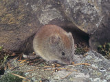 Boreal Red-Backed Vole (Clethrionomys Gapperi), North America Photographic Print by Tom Ulrich