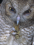 An Eastern Screech Owl, Otus Asio, Fledgling Feeding on Grasshopper, North America Photographic Print by Joe McDonald