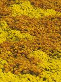 Garden Yellow and Orange Chrysanthemum Varieties Photographic Print by Adam Jones