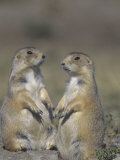 Black-Tailed Prairie Dogs Near the Opening to their Burrow, Cynomys Ludovicianus, Western USA Fotografisk tryk af Joe McDonald
