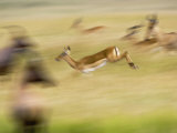 Female Impala, Coke&#39;s Hartebeest and Topi in Motion, Masai Mara Game Reserve, Kenya Photographic Print by Adam Jones