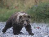 Brown Bear Cub (Ursus Arctos), Kodiak Island, Alaska, USA Photographic Print by Tom Walker