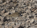 Killdeer (Charadrius Vociferous) Incubating Eggs on its Ground Nest on Rocky Soil, North America Photographic Print by Charles Melton