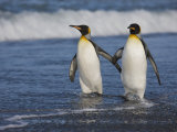 King Penguins (Aptenodytes Patagonicus) Walking Along the Beach, Salisbury Plain, South Georgia Photographic Print by Don Grall