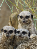 Group of Meerkats (Suricata Suricatta) Photographic Print by Adam Jones