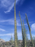 Boojum Tree or Cirio, Idria Columnaris, Sonoran Desert, Southwestern North America Photographic Print by David Matherly