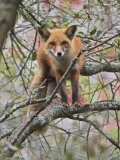 Red Fox in a Tree, Vulpes Vulpes, North America Photographic Print by Adam Jones