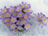 Crocus Flowering in the Snow Lámina fotográfica por David Cavagnaro
