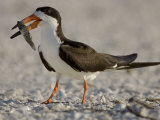 Black Skimmer, Rynchops Niger, with Fish Prey in its Bill, Southern USA Reproduction photographique par John Cornell