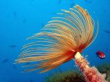 Fan Worm (Spirographis Spallanzani), Mediterranean Sea, Costa Brava Photographic Print by Reinhard Dirscherl