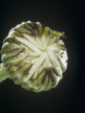 Daisy Flower Bud, Chrysanthemum Photographic Print by Jerome Wexler