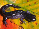 Jefferson Salamander (Ambystoma Jeffersonianum). Northeastern North America Photographic Print by Michael Redmer