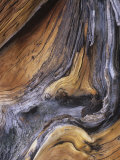 Detail of Ancient Wood of the Bristlecone Pine, Pinus Aristata, Colorado, USA Photographic Print by Gary Meszaros