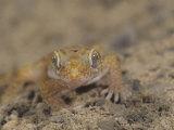 Israeli Sand Gecko, Stenodactylus Petrii, Israel Photographic Print by Joe McDonald