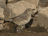 Sage Thrasher Drinking at a Water Drip (Oreoscoptes Montanus), Arizona, USA Photographie par Charles Melton