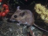 White-Footed Deer Mouse (Peromyscus Leucopus), North America Photographic Print by William Weber
