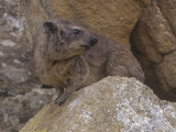 Bush Hyrax, Heterohyrax Brucei, Hell's Gate National Park, Kenya, Africa Photographic Print by Gerald & Buff Corsi
