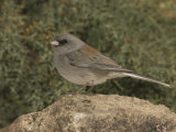 Dark-Eyed Junco, Gray-Headed Form, Perched on a Rock (Junco Hyemalis), Arizona, USA Photographic Print by Charles Melton