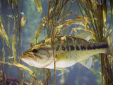 Largemouth Bass (Micropterus Salmoides), the Georgia, Usa State Animal Photographic Print by Steve Maslowski