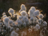 Arctic Cotton Grass (Eriophorum), a Sedge on the Tundra, Canada Photographic Print by Tim Hauf