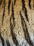 Close Up of the Bengal Tiger Fur and Stripe Pattern (Panthera Tigris) Photographic Print by Adam Jones