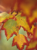 Red Maple Tree Leaves in their Fall Colors, Acer Rubrum, North America Photographic Print by David Cavagnaro
