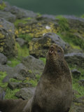 Male Northern Fur Seal, Callorhinus Ursinus, on Pribilof Island, Alaska, USA Photographic Print by Hugh Rose