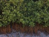 Black Mangroves, Avicennia Germinans, and their Numerous Pneumatophores, Florida, USA Photographic Print by Gary Meszaros