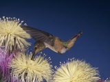 Female Rufous Hummingbird, Selasphorus Rufus, Nectaring at Flowers, Western USA Photographic Print by Jack Michanowski