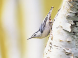 White-Breasted Nuthatch Walking Down a Birch Trunk (Sitta Carolinensis), North America Photographie par Steve Maslowski