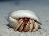 Land Hermit Crab, Maldives, Indian Ocean, Meemu Atoll Photographic Print by Reinhard Dirscherl