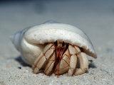 Land Hermit Crab, Maldives, Indian Ocean, Meemu Atoll Photographic Print by Reinhard Dirscherl