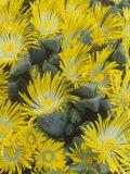 Living Rock or Stone Plants, Pleiospilos Peersii, in Bloom, South Africa Photographie par Adam Jones