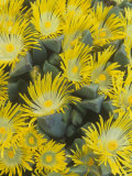 Living Rock or Stone Plants, Pleiospilos Peersii, in Bloom, South Africa Photographic Print by Adam Jones