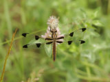 Twelve-Spotted Skimmer Dragonfly (Libellula Pulchella) Photographic Print by Robert Servrancky