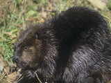 Beaver on Land Near a Pond (Castor Canadensis), North America Photographie par Tom Walker